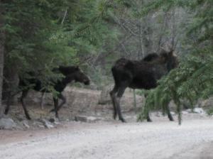 Mama Moose and Baby moose